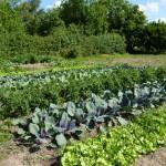 Tee | Saatgut | Gemüsegarten in Berlin