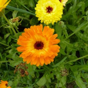 Saatgut Ringelblume - Calendula officinalis