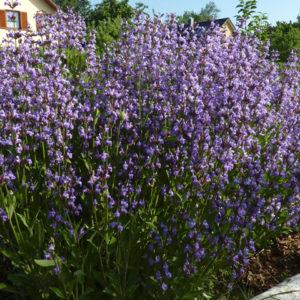 Saatgut Salbei – Salvia officinalis