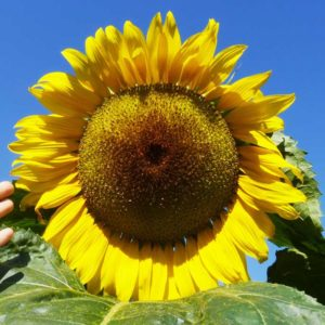 Sonnenblumen Mischung Saatgut