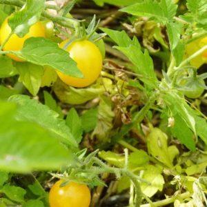 Wild Tomate Saatgut