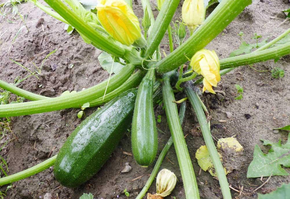 Zucchini Zuboda Saatgut